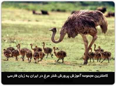 پکیج اقتصادی پرورش شتر مرغ +محصول هدیه