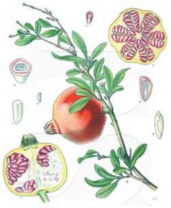 کرم 15 گیاه مومیایی