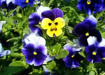 عصاره گل بنفشه ضد لک وجوش صورت
