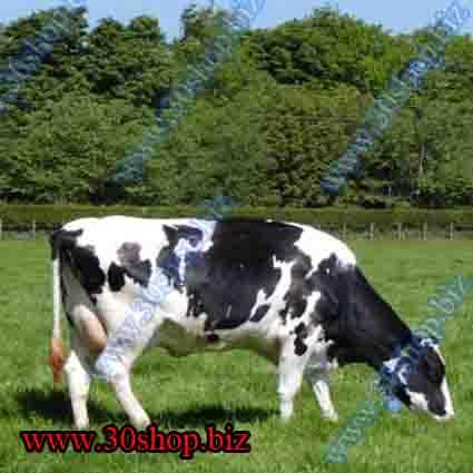 اهميت پرورش گاو و گوساله | آموزش مديريت گاو شيري