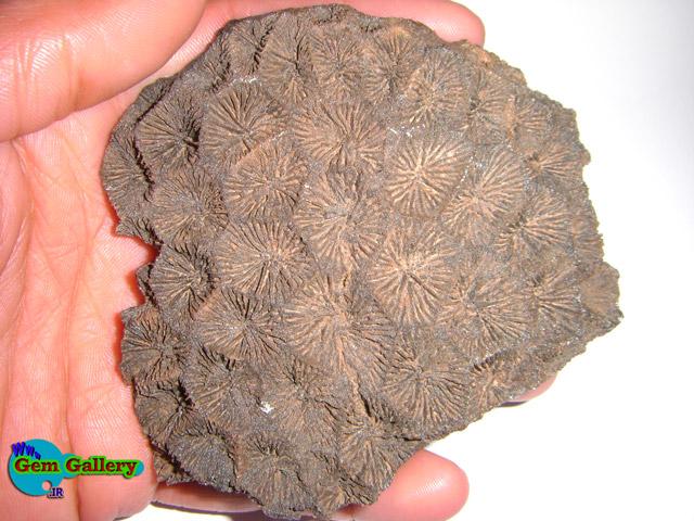 فسیل از خانواده اسفنجیان ( اسفنج ها ) ، سالم ، زیبا و جالب  - ایران  The Iranian Fossil From Sponge Familly - Nice & Well