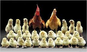 پک 10 عددی جوجه مرغ محلی