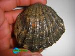 فسیل دوکفه ای اویستر ،ایران IRAN Oyster Fossil