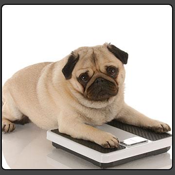 چاقی در حیوانات خانگی