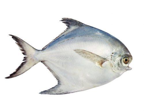 ماهی حلوا سفید بزرگ