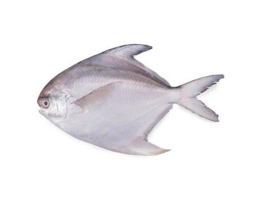 ماهی حلوا سفید متوسط