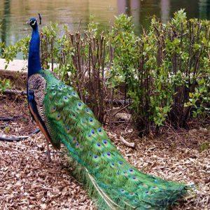 فروش  تخم نطفه دار طاووس هندی