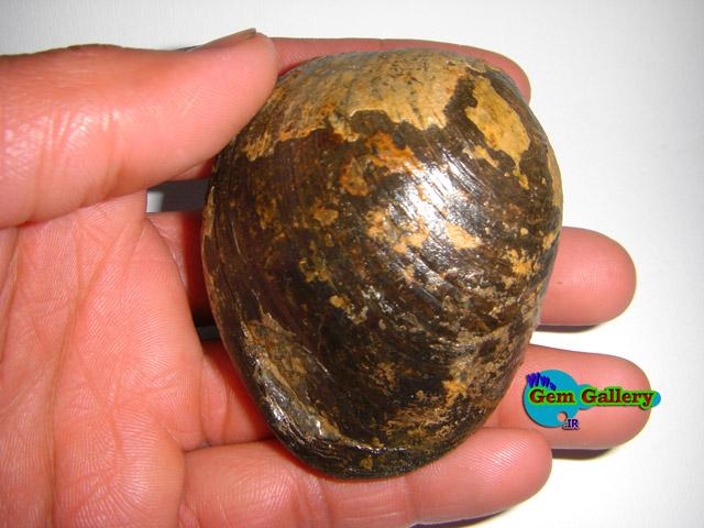 فسیل صدف دوکفه ای از خانواده بی والو  - ایران    Bivalve Family Fossil From IRAN