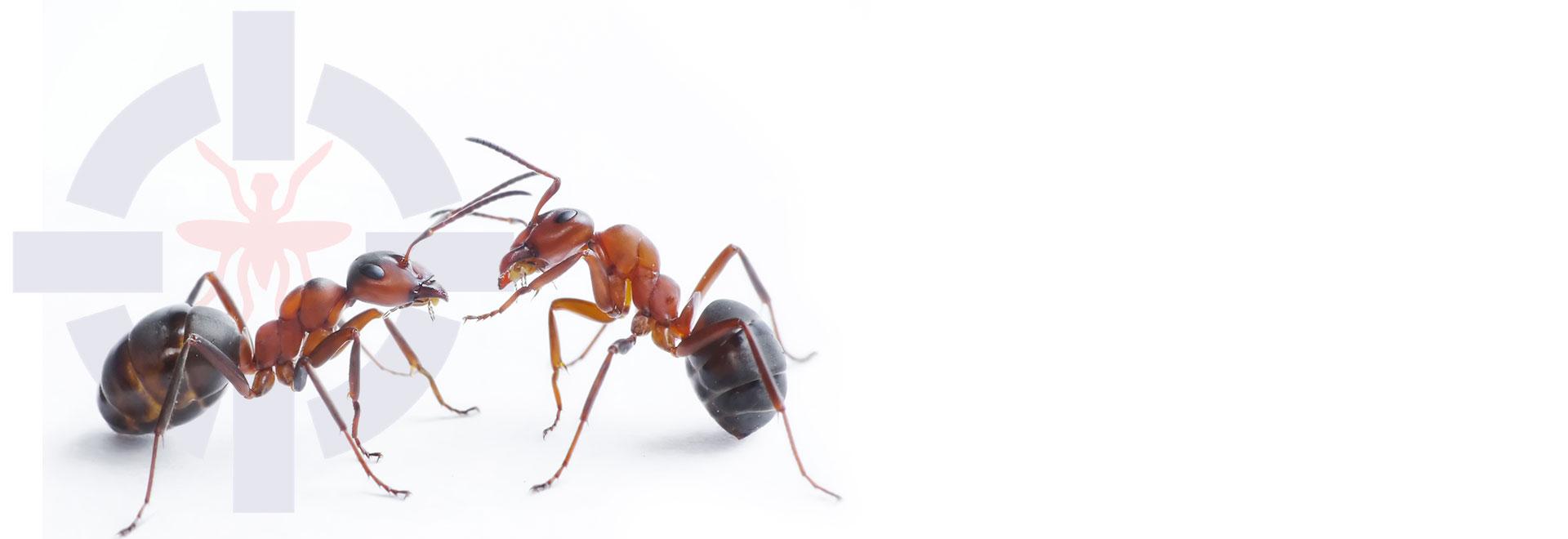 سمپاشی انواع مورچه